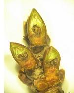 przymrozki uszkodzenia mrozowe czereśni sad