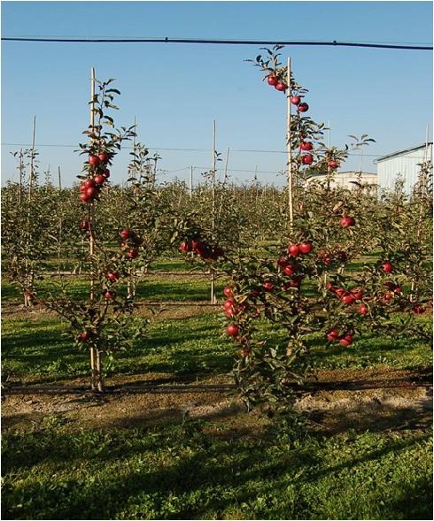 Rosahumus - nawożenie jabłoni