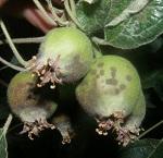 parch jabłoni infekcja