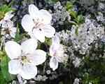 Kwitnienie w sadzie