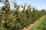 Zastosowanie Giberelin w sadownictwie - zdjęcie sadu