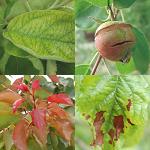 Niedobory pierwiastków - nawożenie jabłoni