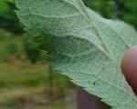mączniak jabłoni zwalczanie