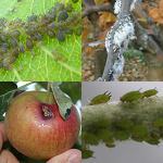 szkodniki zwalczanie bawełnica mszyca owocnica podskórnik