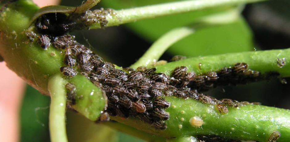 larwy miodówki gruszowej
