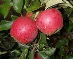 wybarwienie jabłek