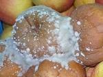 choroby przechowalnicze jabłek zwalczanie