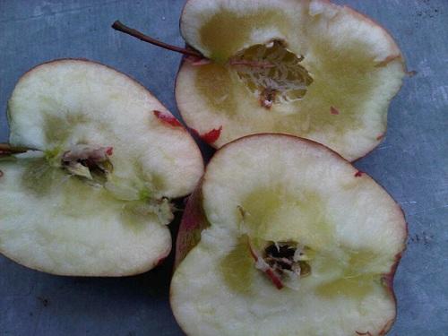 szklistość miąższu jabłek zapobieganie