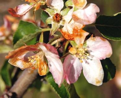 płatki kwiatowe poparzone przez przymrozek