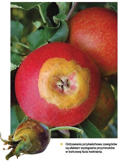 uszkodzenia przymrozkowe jabłoń