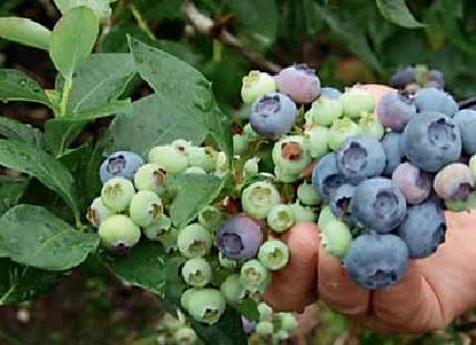 borówka amerykańska - nawożenie - owoce