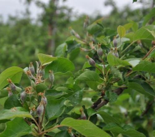 ochrona jabłoni po deszczowym okresie - szczegółowe zalecenia