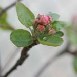 nawożenie jabłoni podczas kwitnienia