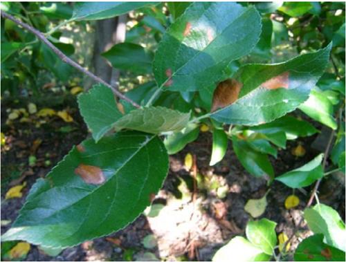 nekrotyczna plamistość liśći zapobieganie