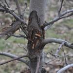 rak drzew owocowych