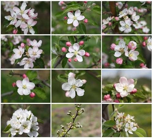 odmiany-kwitnienie