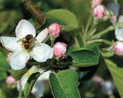 pszczoła na jabłoni