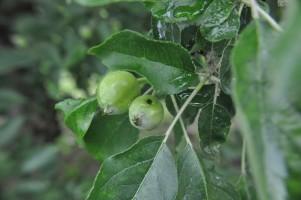 parch-owoc-1