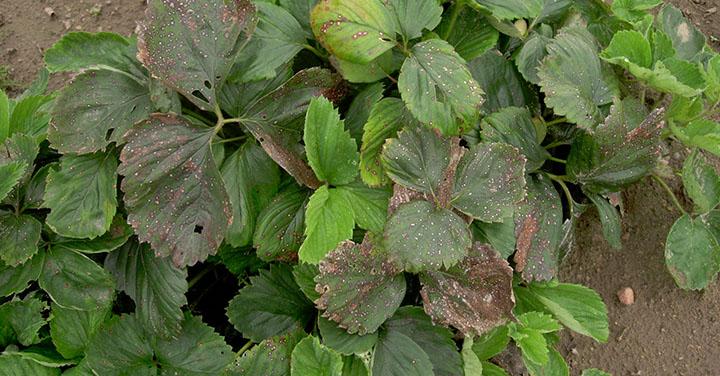 Biała plamistość liści truskawki