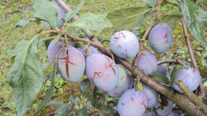 Owoce śliwy uszkodzone przez grad