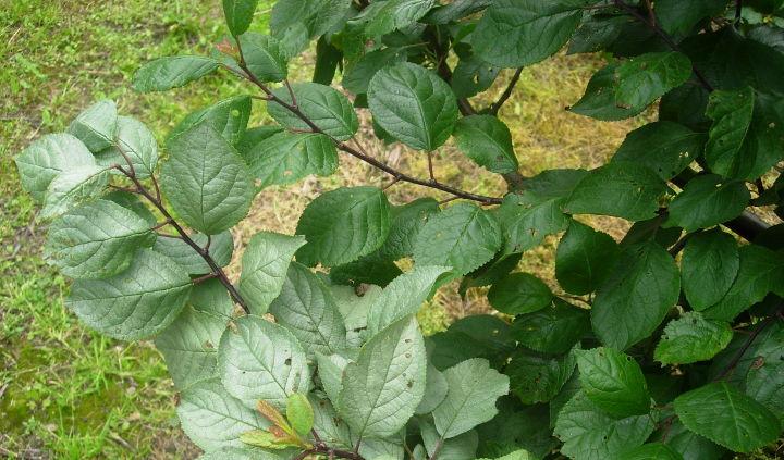 objawy srebrzystości na liściach śliw