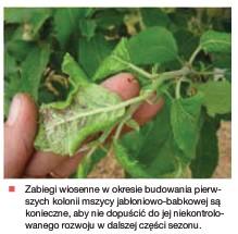 mszyca jabł babk na liściach