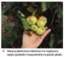mszyca jabł babkowa na owocach