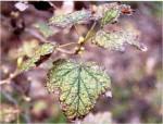 objawy białej plamistości na liściach porzeczki