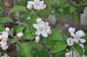 kwitnienie - duże zagrożenie ze strony parcha