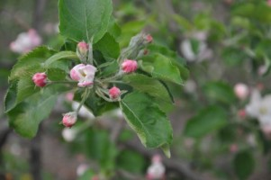 różowy pak - zagrożenie infekcją zarodników parcha