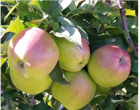 jabłka z drzew chronionych według programu Fosfiron+fungicyd powierzchniowy
