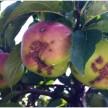 jabłka z drzew niechronionych w okresie od zdrowego pąka do zwrostu zawiązków