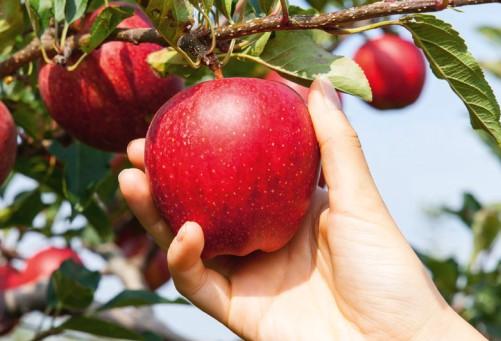 jabłko ręka