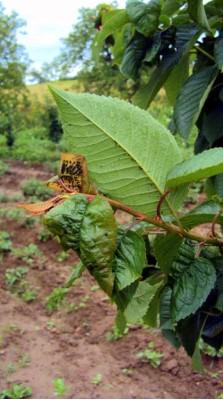 mszyca wiśniowo - przytuliowa