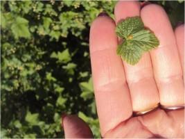 Objawy rdzy agrestu na liściach porzeczki
