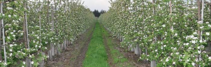sad jabłoniowy w okresie kwitnienia