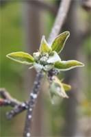 pąk jabłoni