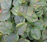 biała plamistość liści truskawek