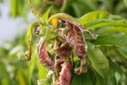 kędzierzawość liści brzoskwiń