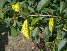 objawy drobnej plamistości liści drzew pestkowych
