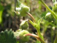 podcięta szypułka truskawki przez samicę kwieciaka