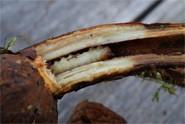 przeziernik malinowiec - gąsiennica