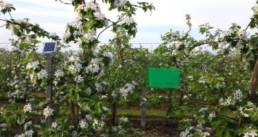 pułapka iTrap w sadzie jabłoniowym