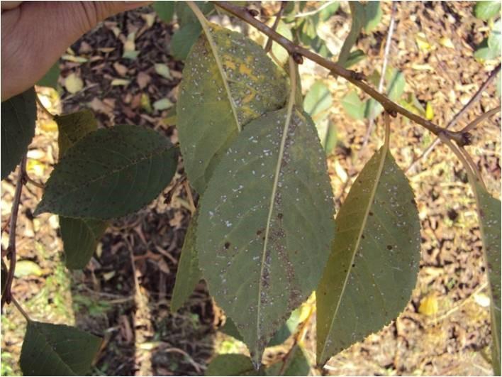 robna plamistość drzew pestkowych