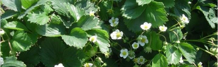 truskawki kwitnienie