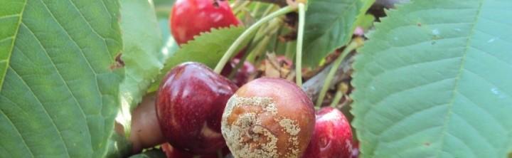 gorzka gnilizna wiśni