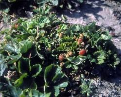 roztocz truskawkowiec