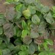 truskawka po zbiorach szara pleśń