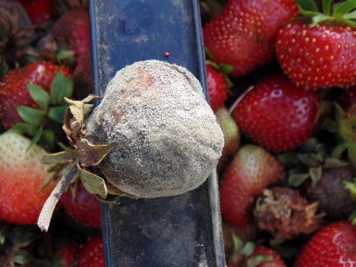 objawy szarej pleśni na truskawce