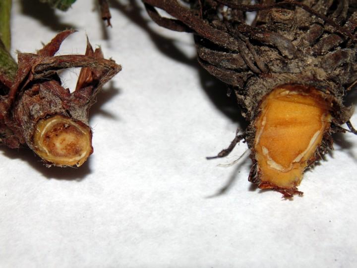 zgnilizna-korony-truskawki-i-skorzasta-zgnilizna-owocow_2
